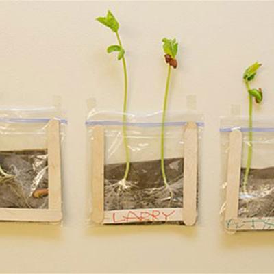 Esplorando la germinazione: coltivare i fagioli in un sacchetto